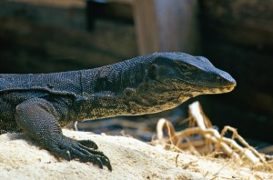 Monitor lizard on Sipadan Island